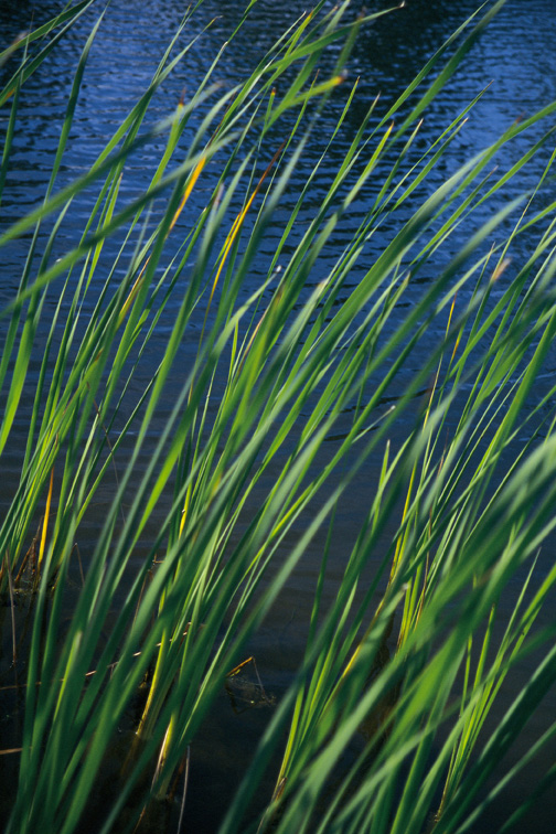 Letting Go of Guilt - You Are Not Guilty - reeds and water