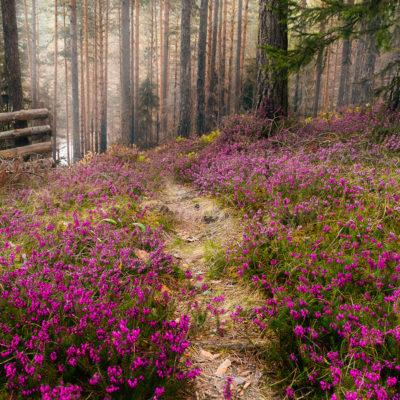 Purple Flowers Carpet In Pine Forest.